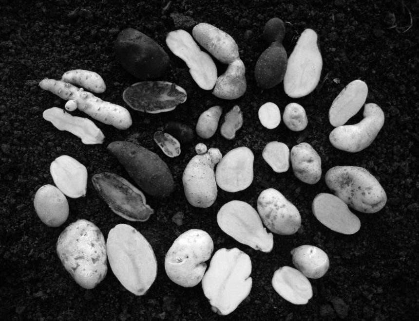 The Order of Potatoes. On Purity and Variation in Plant Breeding